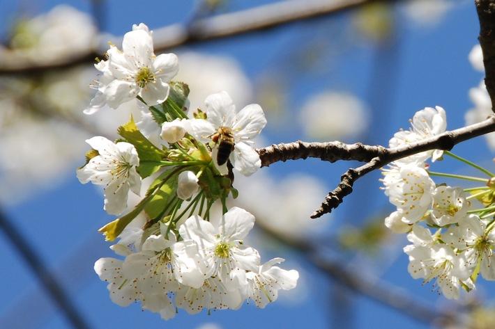Bienennährgehölze gegen das Bienensterben +++ Bienenschutz, Nährgehölze, Nährbäume, Honigbienen, Neonicotinoide, Biodiversität, Nahrungsquelle, Lebensraum +++